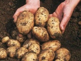 Сорт картофеля «крона»: характеристика, описание, урожайность, отзывы и фото