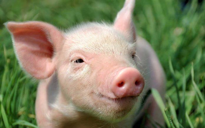 Причины, по которым свинья не ест после опороса и что делать, методы лечения