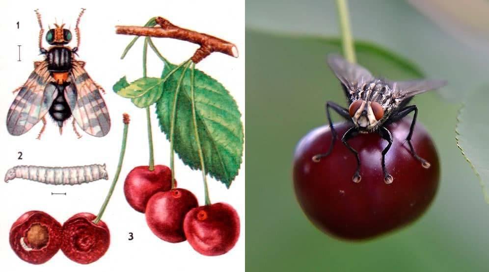 Как избавиться от червей в черешне и чем обработать