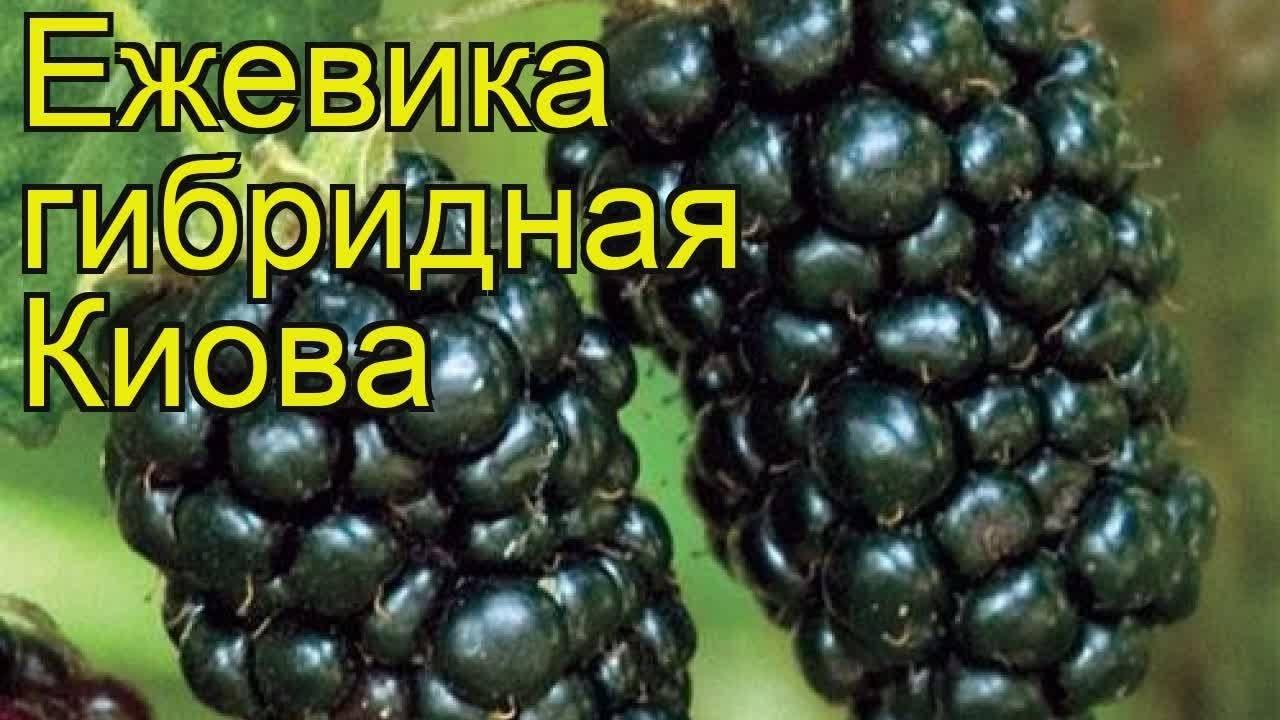 Ежевика аучита