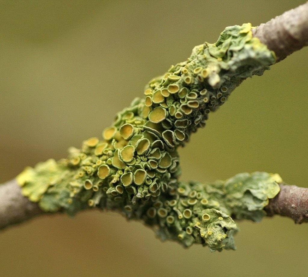 Причины появления лишая на дереве и способы избавления