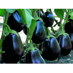 Особенности выращивания и ухода за сортом баклажанов «мирвал f1»