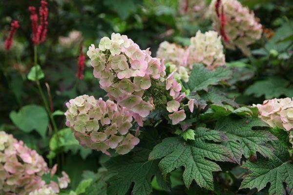 У каких сортов гортензии голубые цветы? посадка растения и уход за ним
