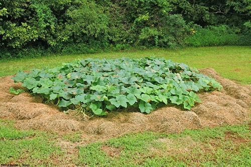 Как вырастить большую тыкву на даче в открытом грунте: пошаговая инструкция и секреты опытных агрономов