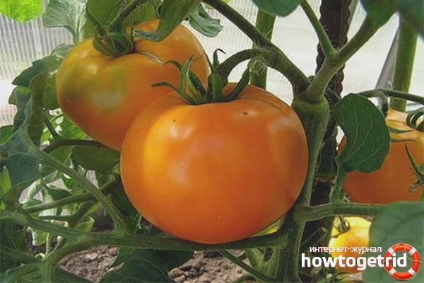 Почему дачники так любят томат «алтайский оранжевый», отзывы о его урожайности и секреты ухода