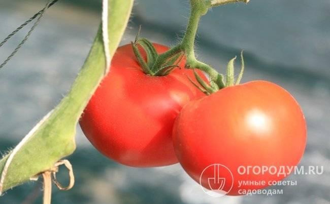 Помидоры «сибирский скороспелый»: описание, агротехника выращивания