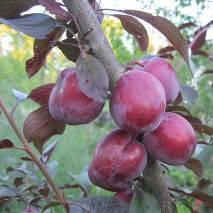 Алыча прамень — описание сорта, фото и отзывы садоводов