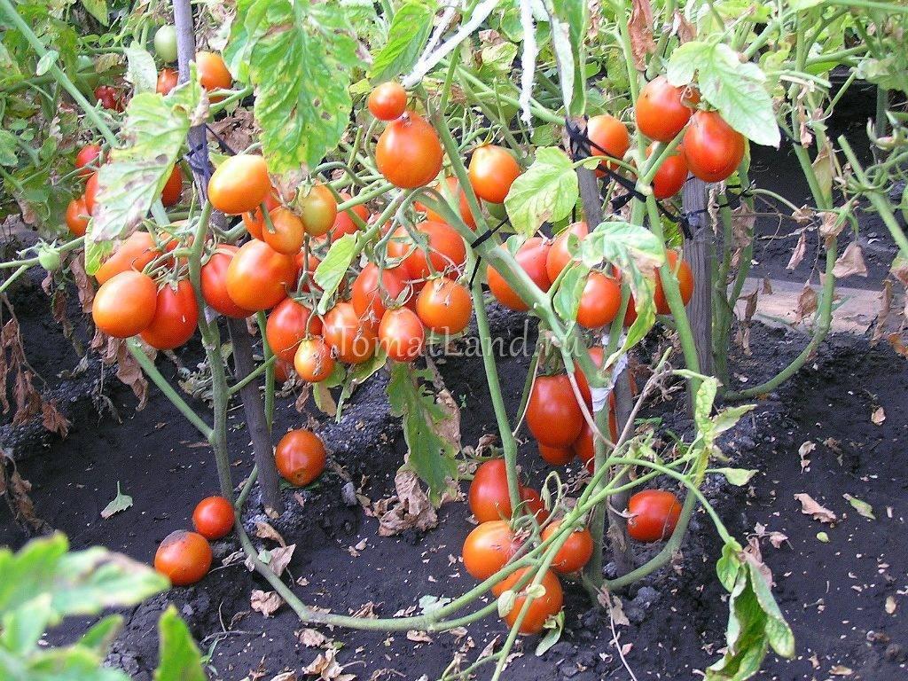 Томат кибиц: характеристика и описание сорта, фото, отзывы, урожайность