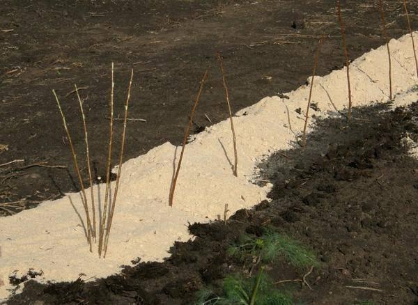 Малина садовая: правила посадки, ухода и размножения