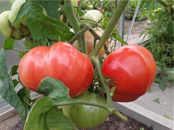 Секреты выращивания томата «розовый слон»: описание сорта, характеристика и фото помидоров