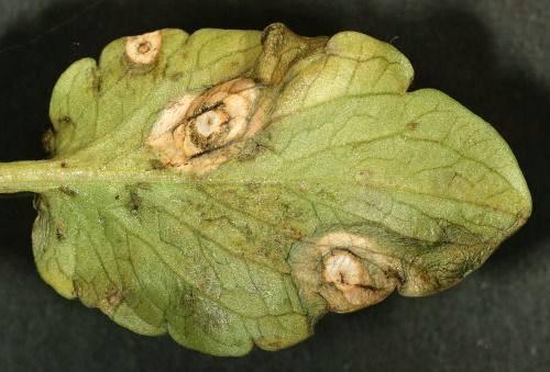 Крапчатость листьев, усыхание ветвей и другие болезни съедобной жимолости