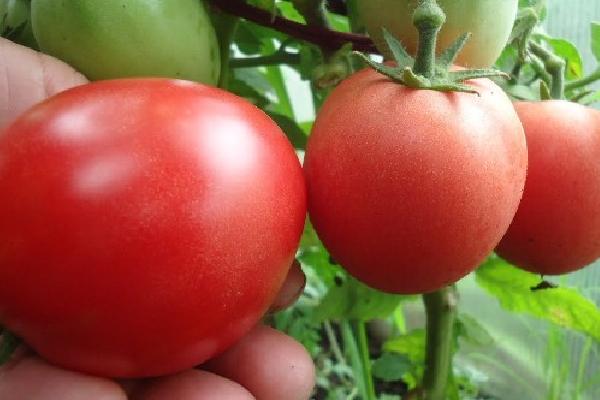 Семена урожайных томатов сибирской селекции