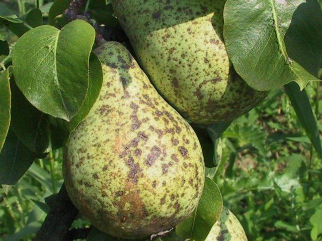 Подробная характеристика и особенности выращивания груши сорта самарская красавица