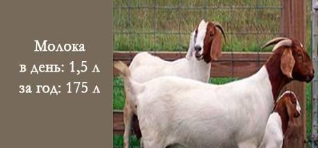 Породы коз с фото и описанием