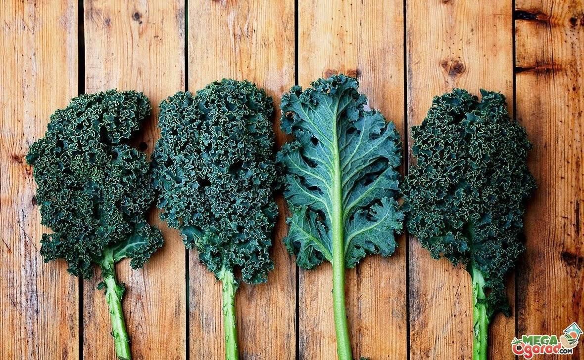 Похожая на репу капуста — знакомимся с кальраби! все, что нужно знать об этом полезном овоще