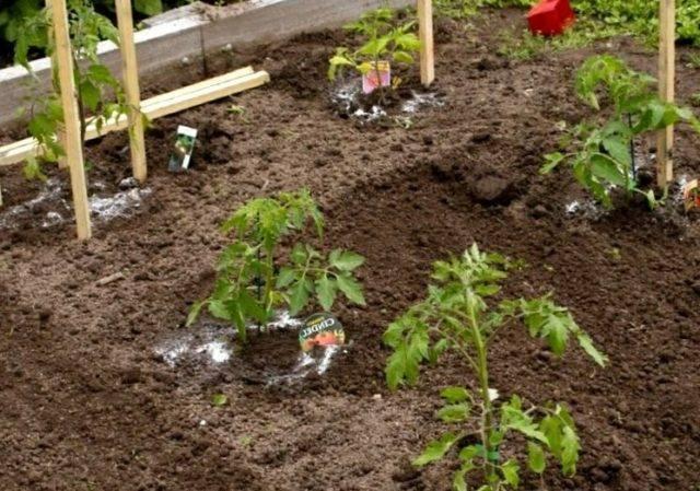 Как подкармливать помидоры в теплице