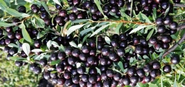 Особенности выращивания декоративной песчаной вишни бессея