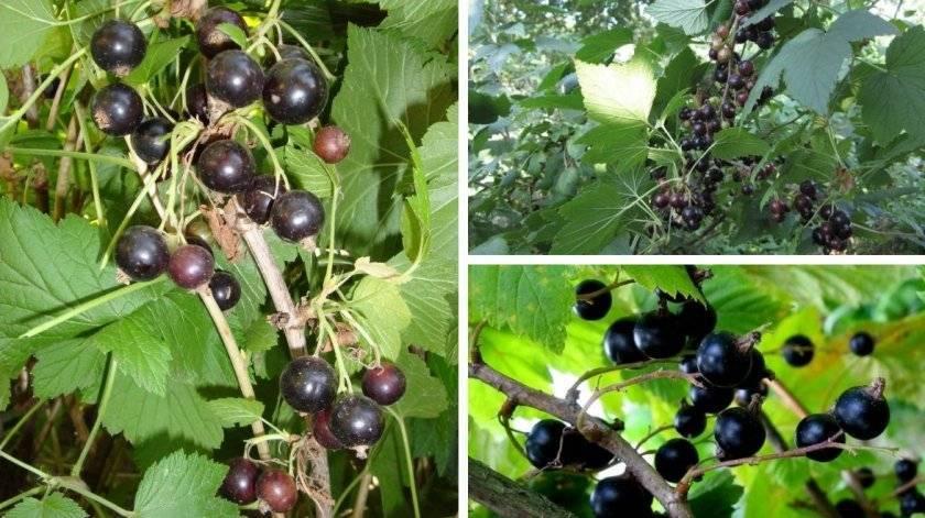 Смородина багира — ягоды грибы