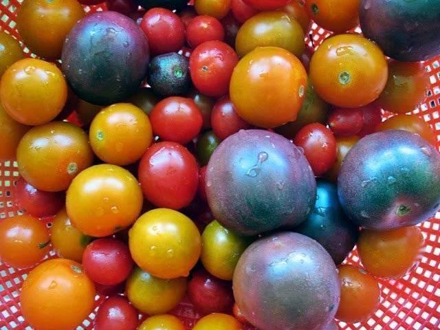 Описание сорта томата индио и его характеристики