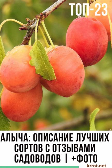 Посадка сливы на Урале и в Сибири