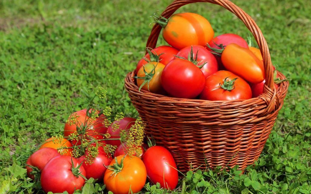 Сорта помидоров для засолки