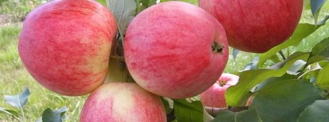 Отличный сорт для приготовления джемов и варенья — яблоня медуница