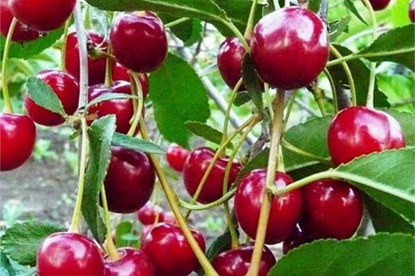 Вишня «уральская рубиновая» — описание сорта, посадка и уход