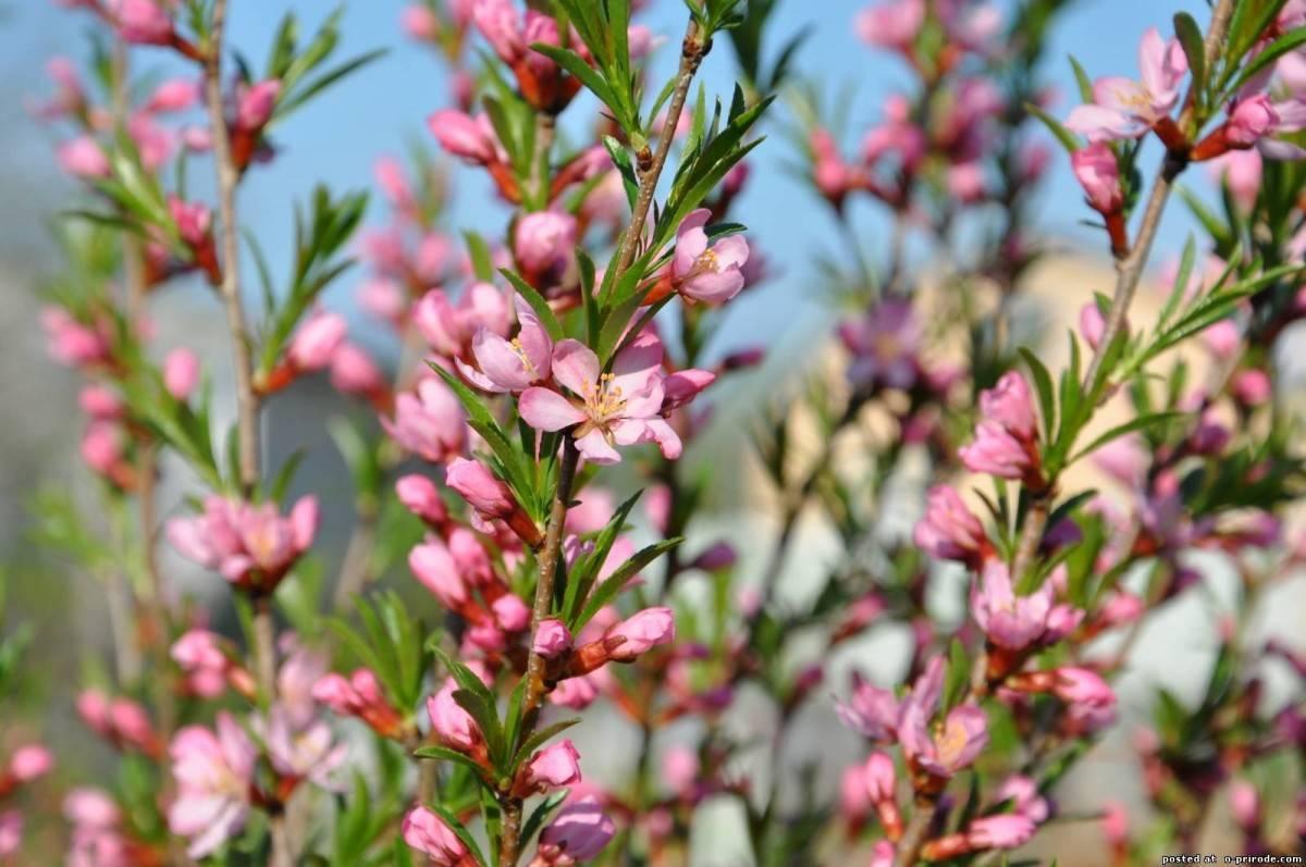 Декоративный миндаль: виды и сорта, выращивание кустарника