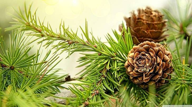 Сосновые шишки: лучшие рецепты для лечения и укрепления здоровья