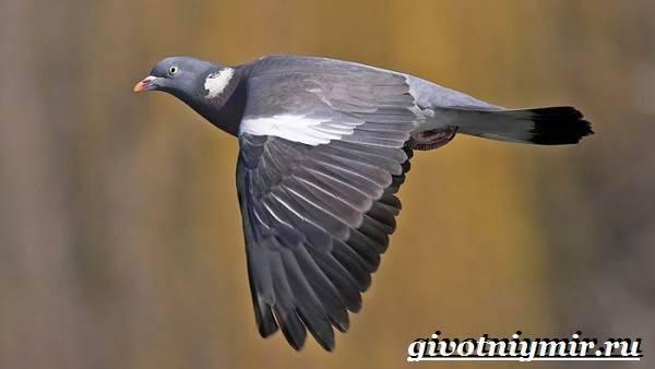 Что из себя представляет голубь вяхирь