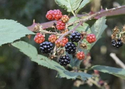 Особенности выращивания ежевики сорта апачи