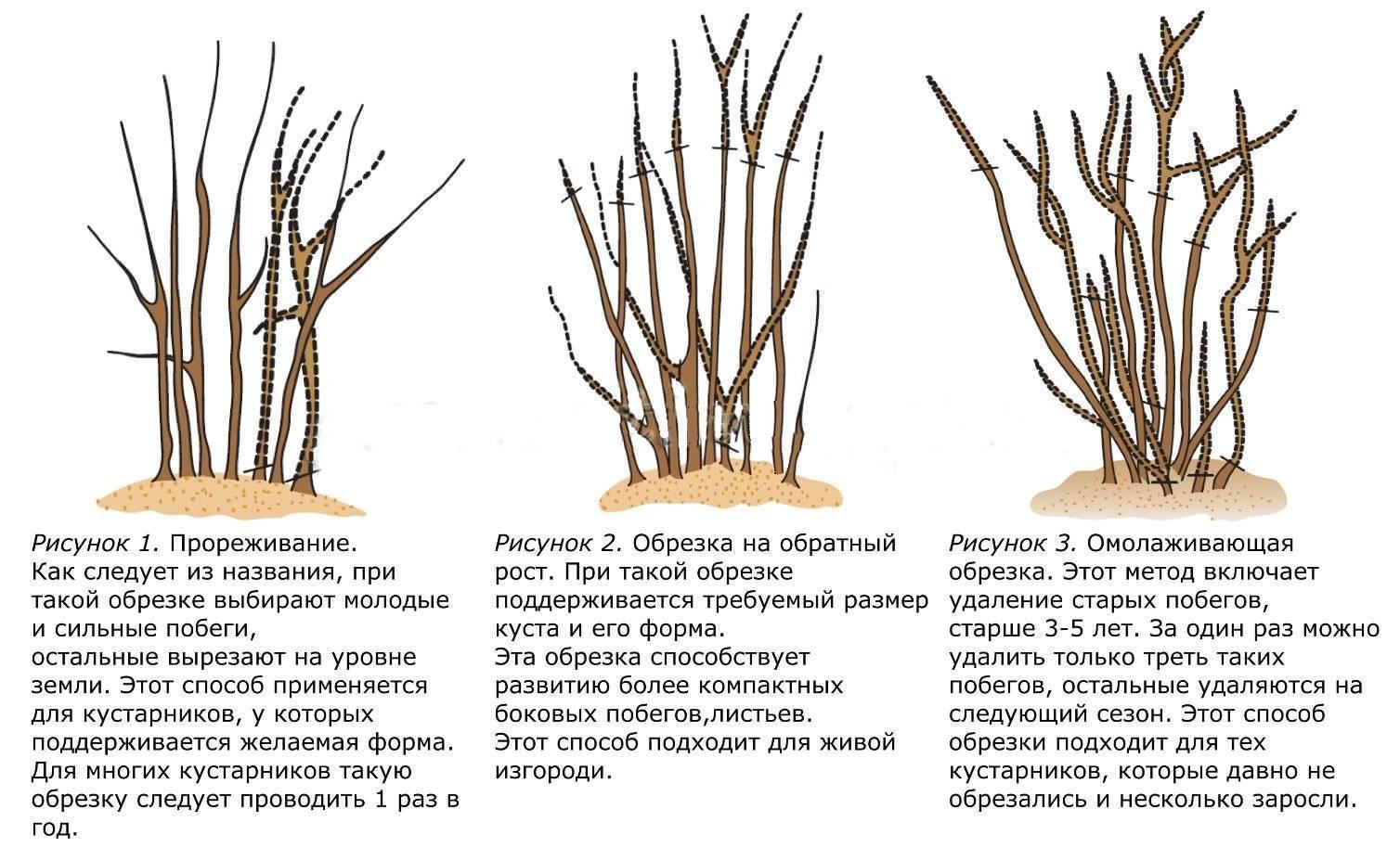 Как правильно обрезать вейгелу
