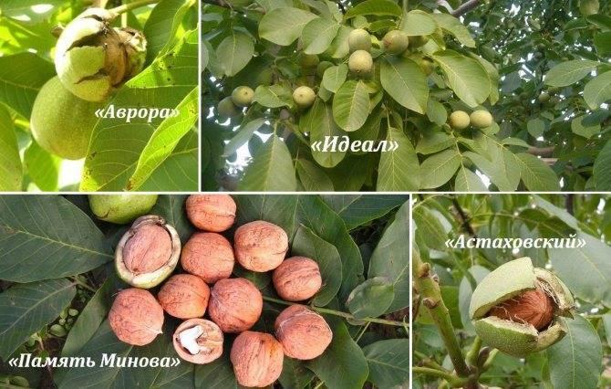 Грецкий орех - дерево семейства ореховые. посадка, выращивание и уход