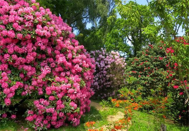 Морозоустойчивый рододендрон – «розовое дерево» урала