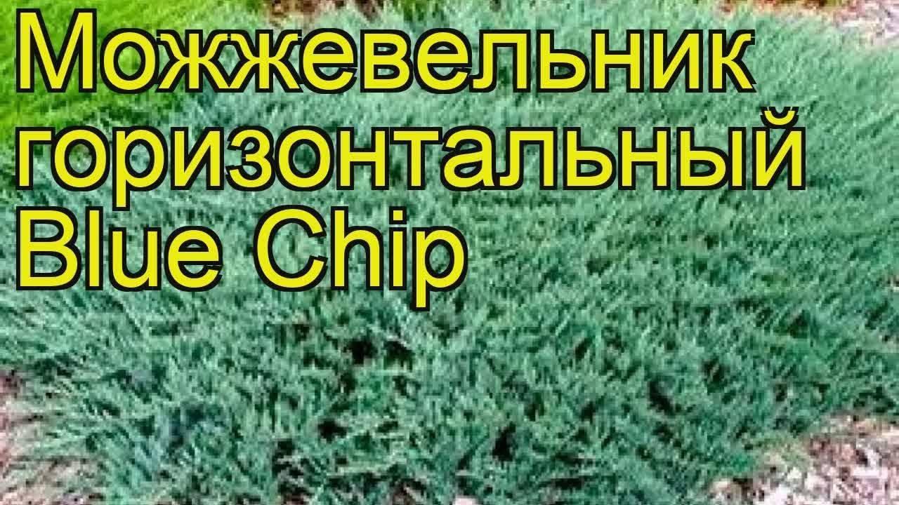 Можжевельник горизонтальный (44 фото): «андорра» и «айс блю», blue chip и «блю форест», «принц оф уэльс» и другие сорта можжевельника распростертого