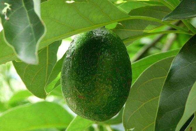 Как вырастить авокадо в домашних условиях (9 рекомендаций)