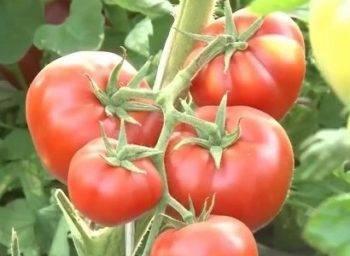 Томат бабушкино отзывы фото урожайность характеристика