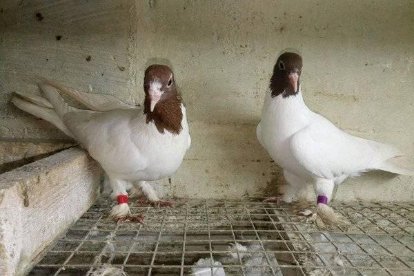 Иранские щекатые голуби: описание, фото