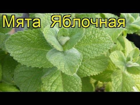 Выращивание лимонной мяты (мелиссы) в открытом грунте