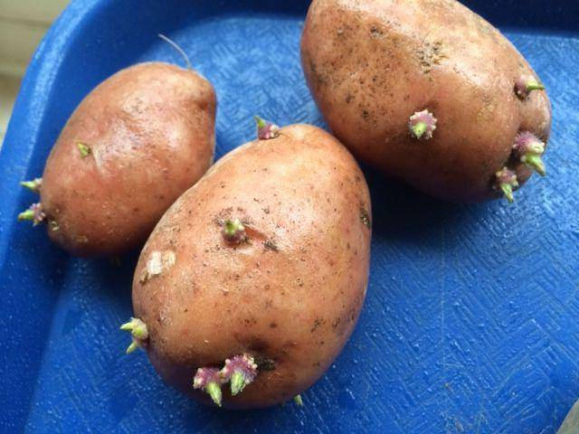 Характеристики и описание картофеля сорта манифест, посадка и уход