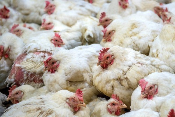 Болезни кур несушек зимой, их симптомы и лечение