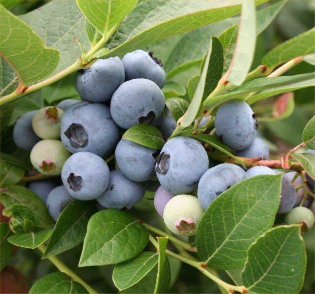 Голубика путте: характеристика сорта и особенности выращивания