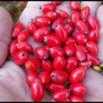 Лечебные свойства плодов кизила при сахарном диабете