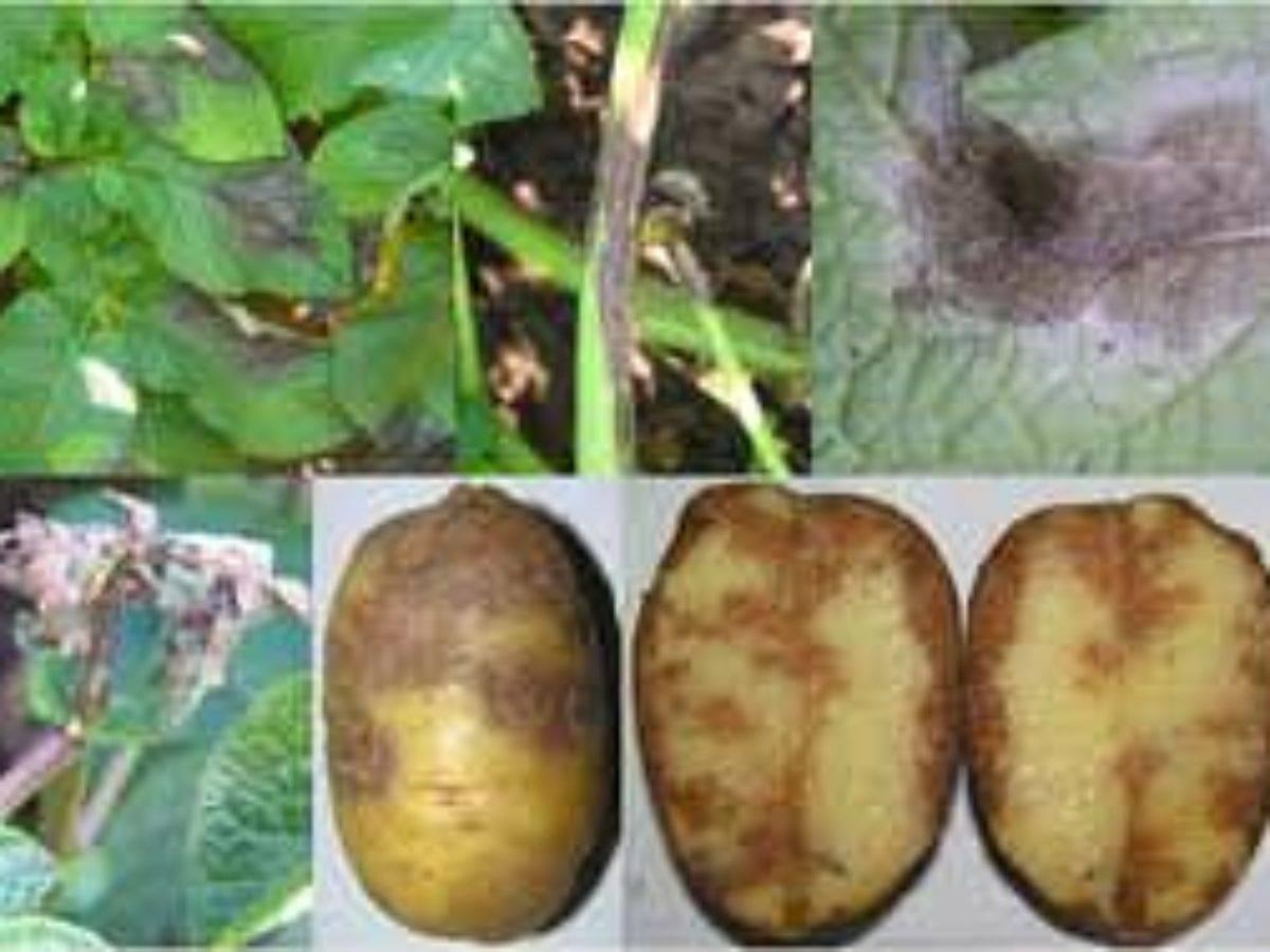 Как бороться и чем обработать картофель от фитофторы