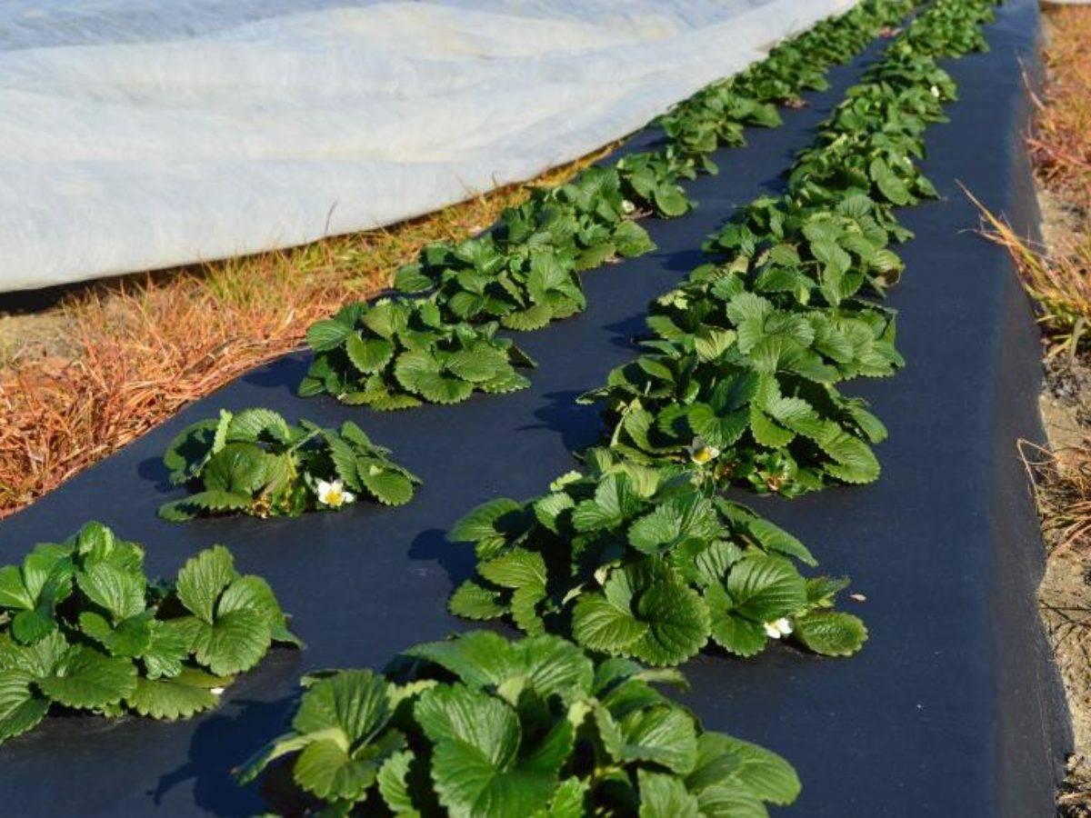 Как правильно сажать клубнику весной?