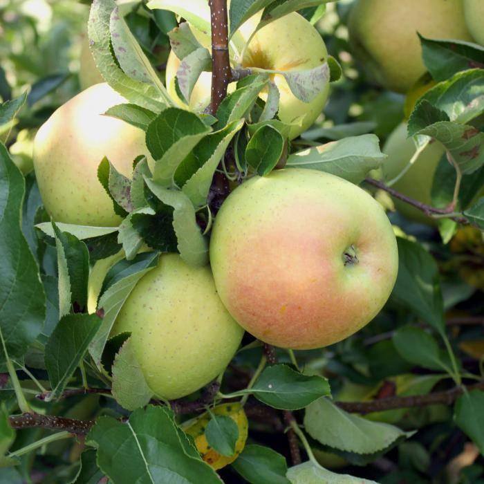 Иммунная к парше уральская яблоня родниковая