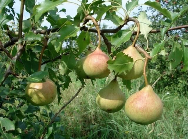 История и характеристика осеннего сорта груши дюймовочка