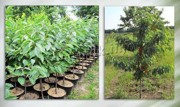 Черешня любимица астахова — описание сорта, фото, отзывы садоводов