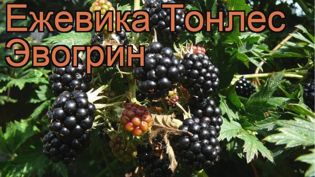 Характеристика и особенности выращивания ежевики астерина