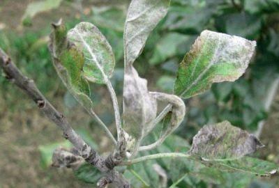Почему у груши скручиваются листья и что делать, методы лечения и правила обработки